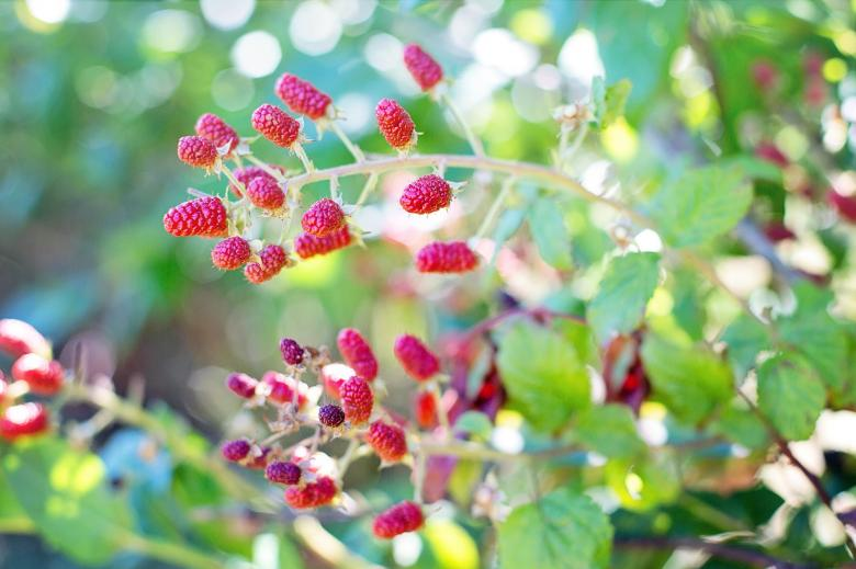 Free Stock Photo of Fresh Raspberries Created by Pixabay