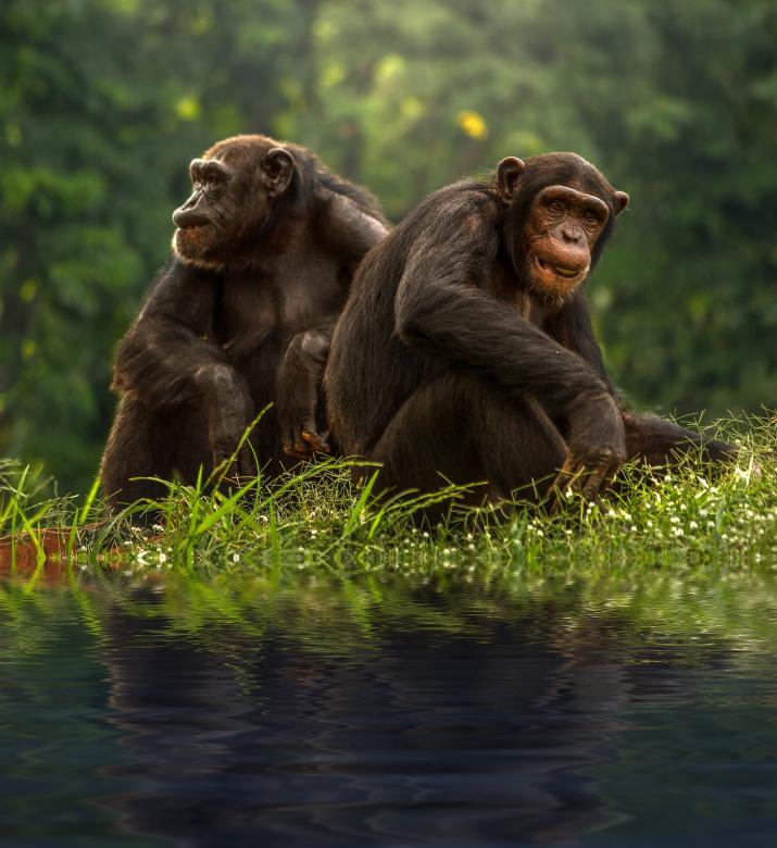 Free Stock Photo of Chimp Couple Created by Pixabay