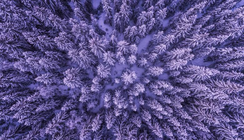Pine Trees From Above Free Photo