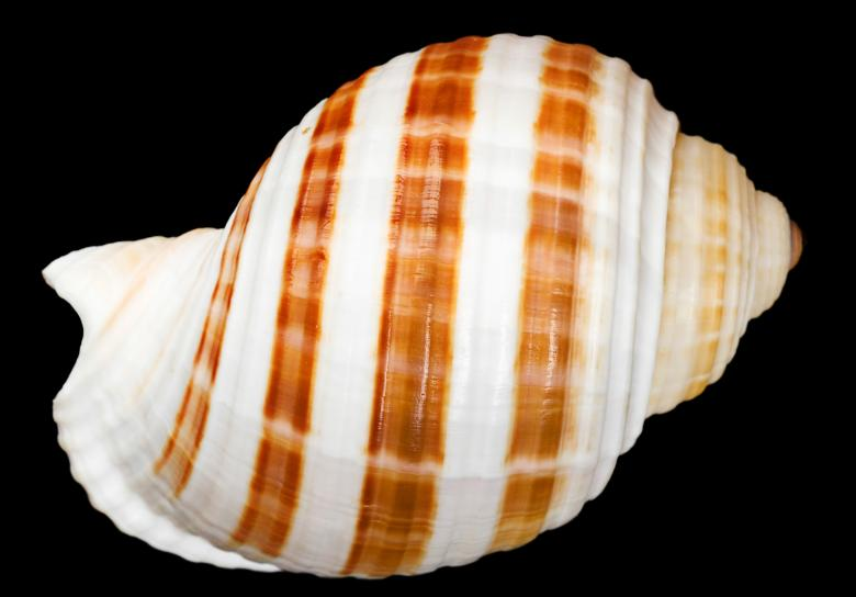 Free Stock Photo of Striped Seashell Created by 2happy
