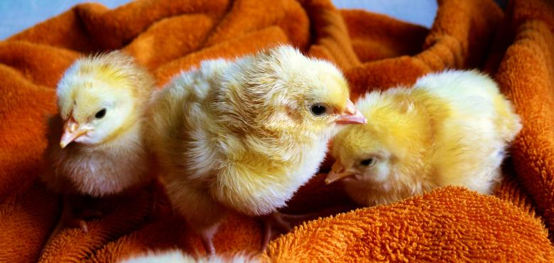 Little Chicks - Free Easter Stock Photos & Vectors