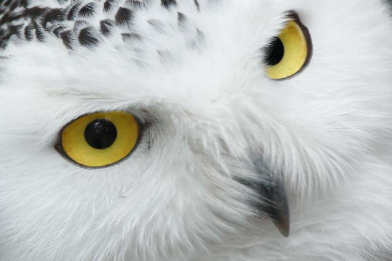 Free Stock Photo of White Owl Created by Pixabay