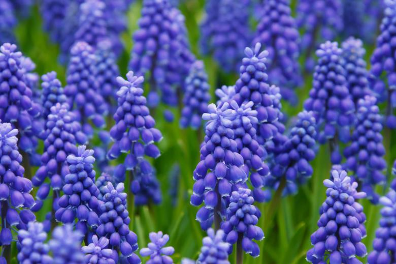 Free Stock Photo of Fresh Hyacinths Created by Pixabay