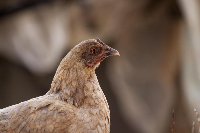 Free Stock Photo of A suspicious looking chicken Created by Eduardo Soares Bogosian