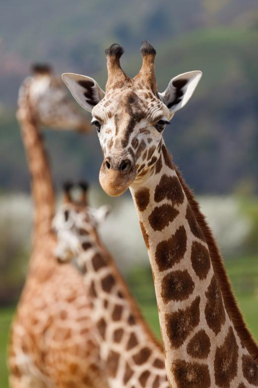 Free Stock Photo of African Giraffe Created by Pixabay