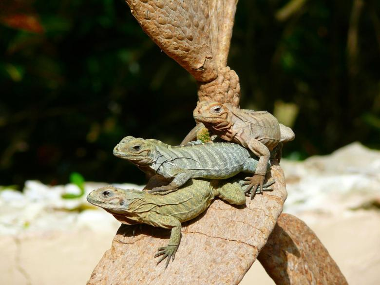 Free Stock Photo of Wild Iguanas Created by Pixabay