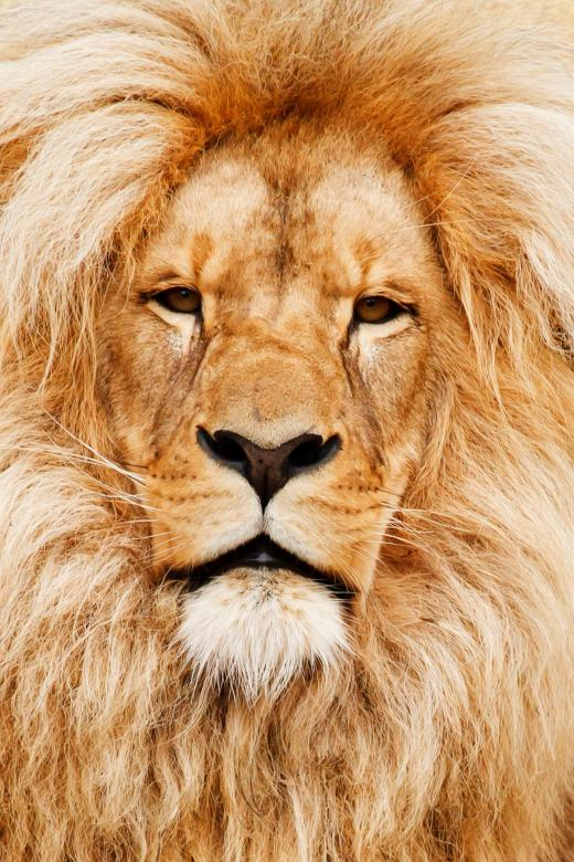 Free Stock Photo of Wild African Lion Created by Pixabay
