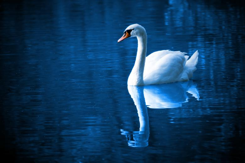 Free Stock Photo of Swan in the River Created by Pixabay