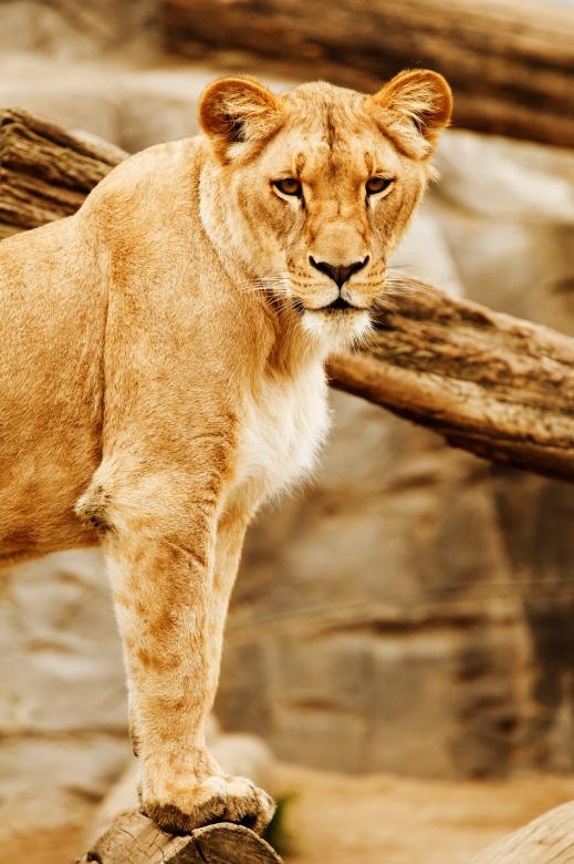 Free Stock Photo of Lioness In Africa Created by Pixabay