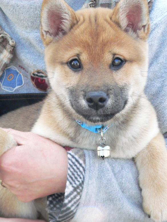 Free Stock Photo of Japanese Shiba inu puppy held in arms Created by James Jack