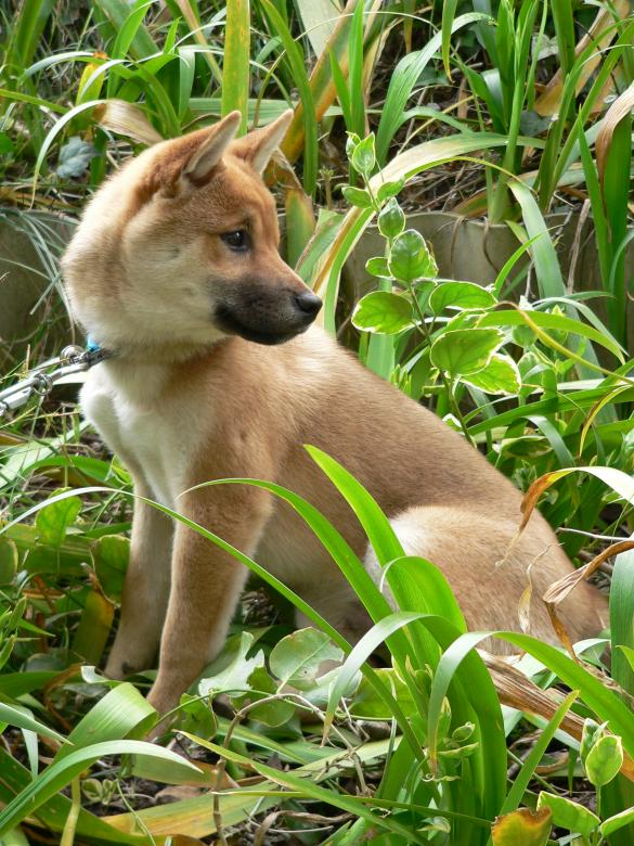 Sitting Shiba Inu Japanese dog looking over his shoulder Free Photo