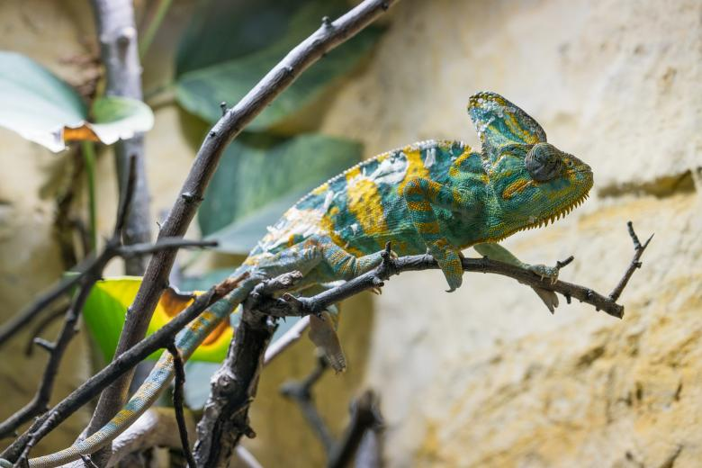 Free Stock Photo of Wild Chameleon Created by Pixabay