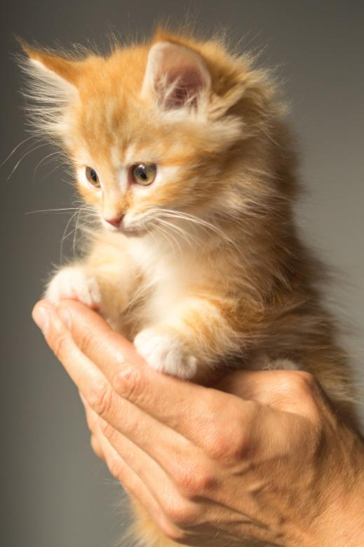 Free Stock Photo of Little Kitten Created by Pixabay