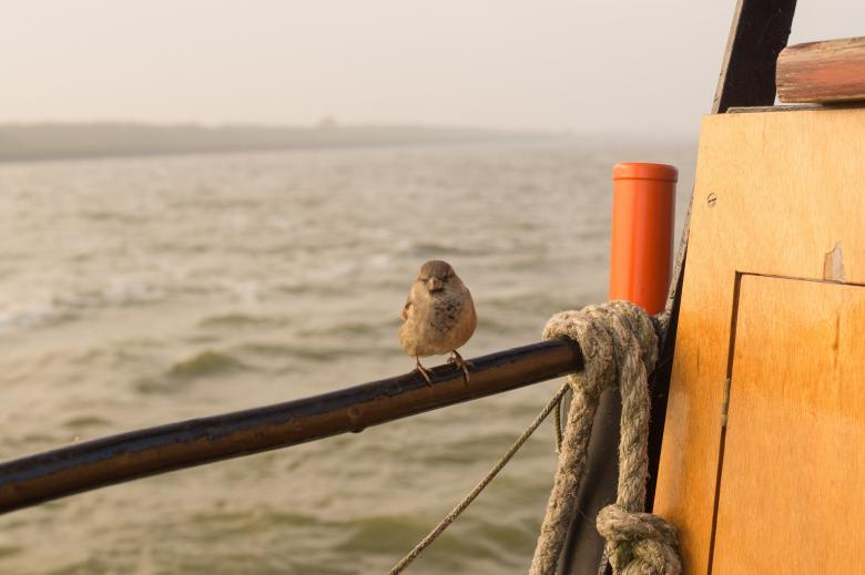 Sparrow on Board Free Photo