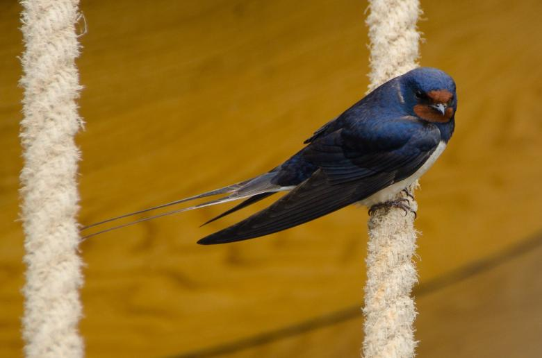 Free Stock Photo of Swallow Bird Created by Pixabay