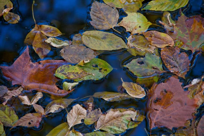 Free Stock Photo of Fall Leaves on Still Water Created by alisa moody