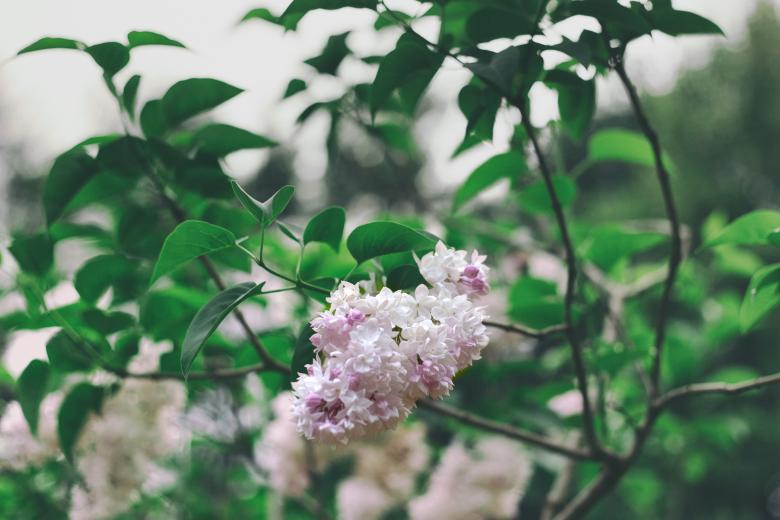 Free Stock Photo of Beautiful Pink Flowers Created by tosovisal