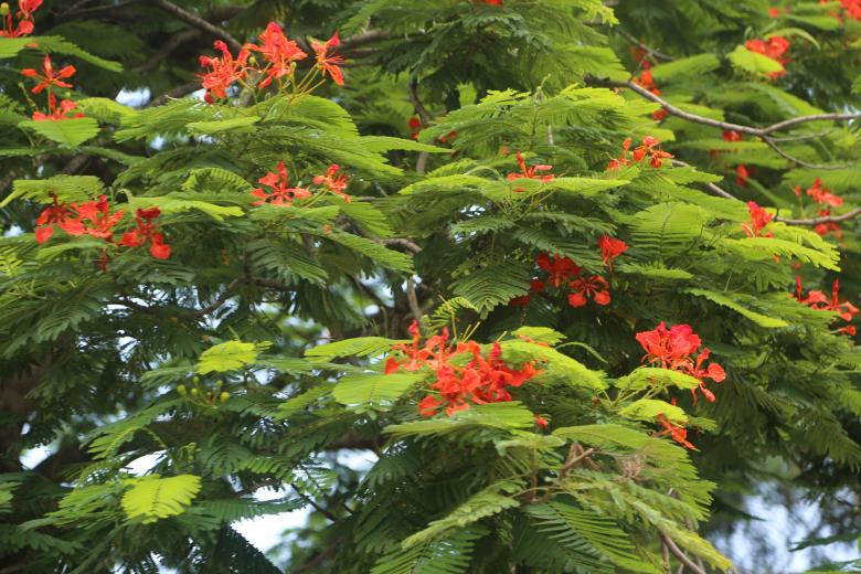 Green Tree with Red Blooms Free Photo