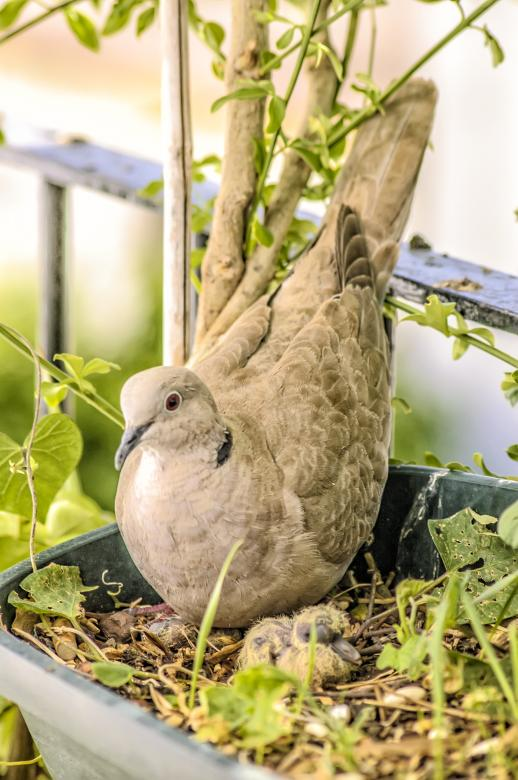 Free Stock Photo of Pigeon with Chicks Created by Felipe Lopez Ruiz