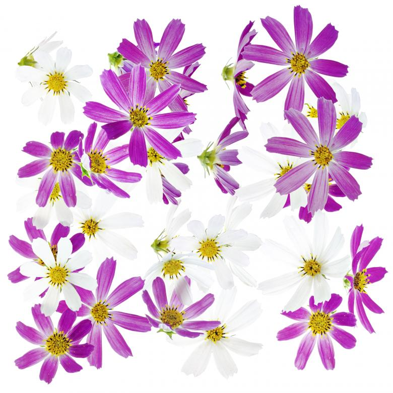 Free stock image of Purple and White Flower Background created by 2happy