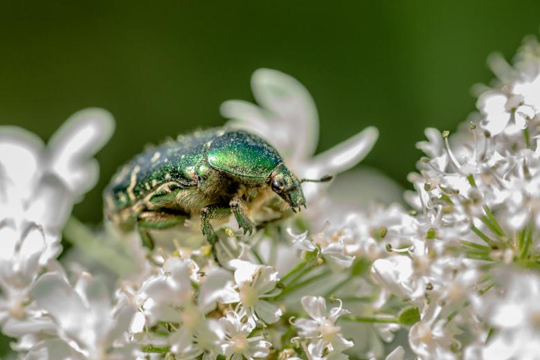 Free Stock Photo of Rose Chafer Beetle - Cetonia Aurata Created by John Quine