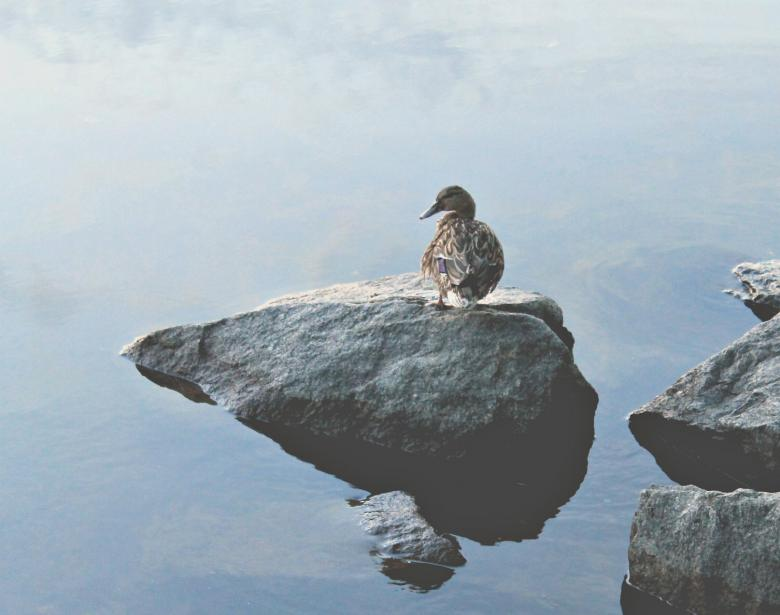 Free Stock Photo of A Lonely Duck Standing on the Rock on the Coast Created by NomeVizualizzato