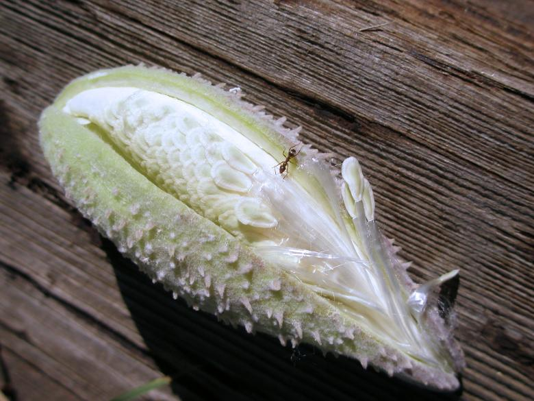 Free Stock Photo of Ant on a Milkweed Seed Pod Created by Michele Moss