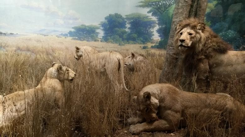 Free Stock Photo of Painting of Lions Created by Ramanathan Veerappan