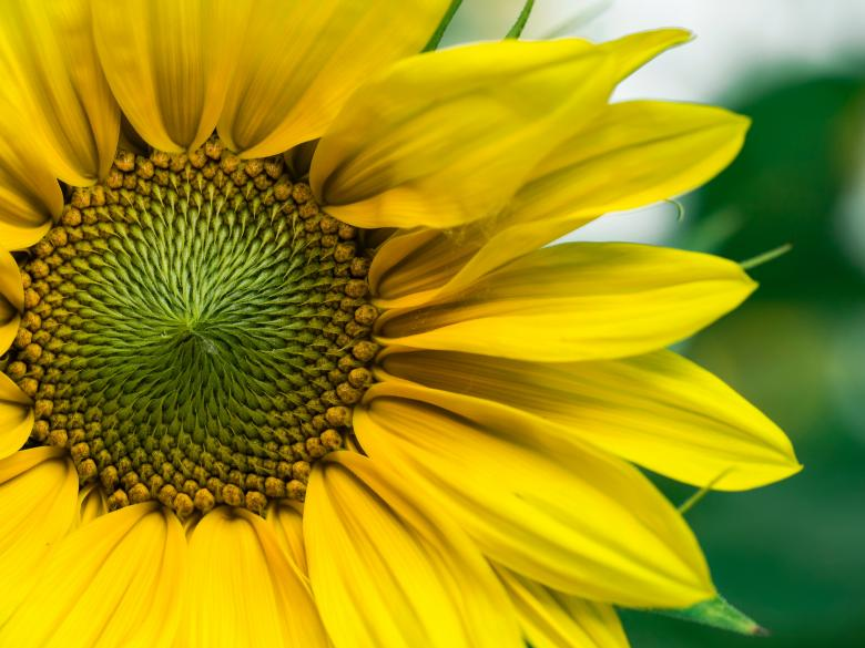 Free stock image of Sunflower Close Up created by Muhammad Numan
