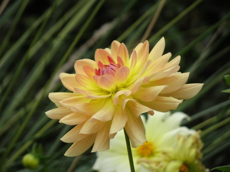 Free Stock Photo of Yellow-beige dahlia Created by GAIMARD Jacques