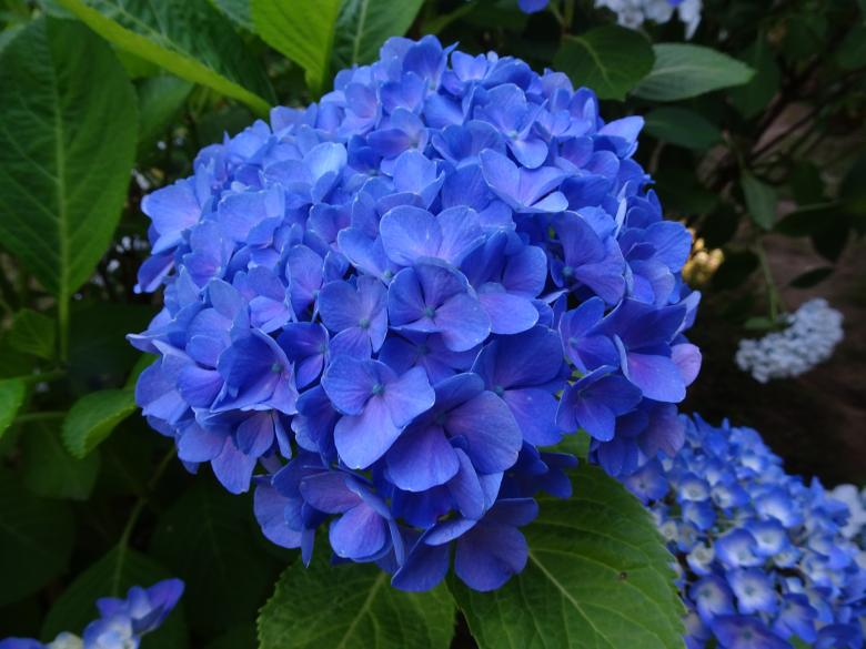 "Free Stock Photo of ""Regular"" hydrangea with very deep blue color Created by GAIMARD Jacques"