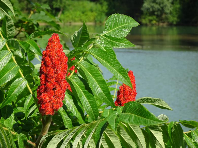 Free Stock Photo of Rhus tree blooming Created by GAIMARD Jacques