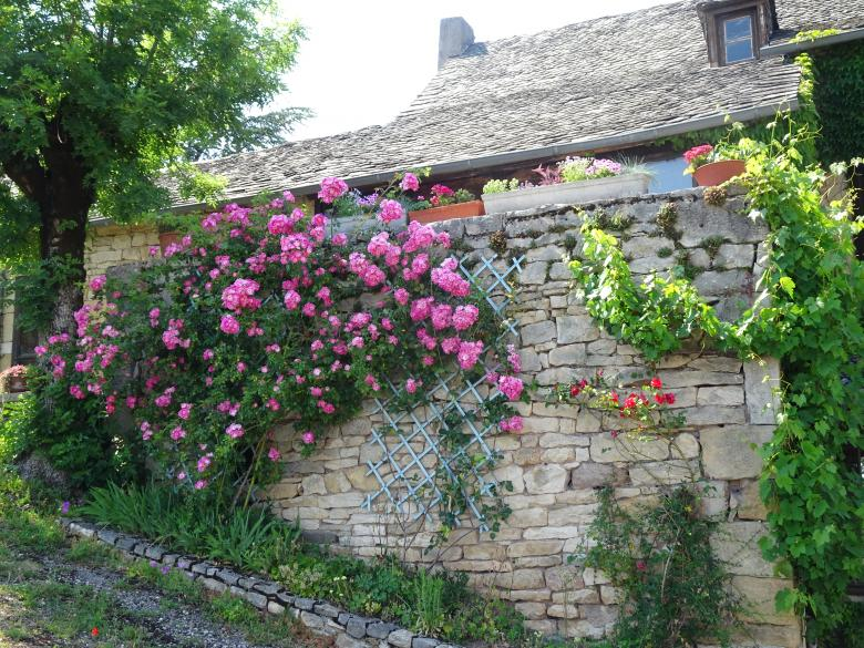Free Stock Photo of creeping rose shrub on a dry stones wall Created by GAIMARD Jacques