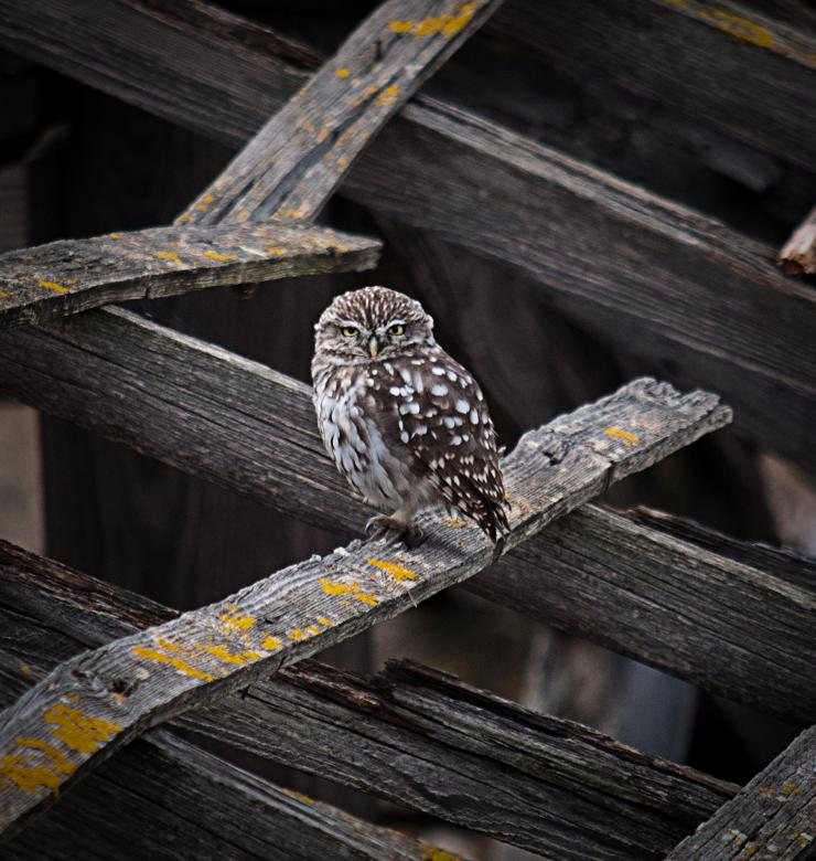 Free Stock Photo of Little Owl Created by PaSoNeCa