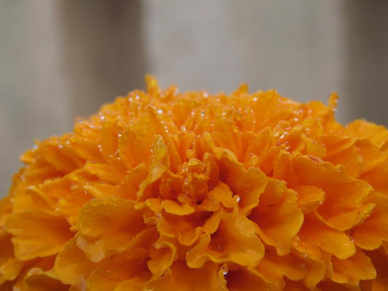 Free Stock Photo of Orange Marigold Flower Created by pixloger