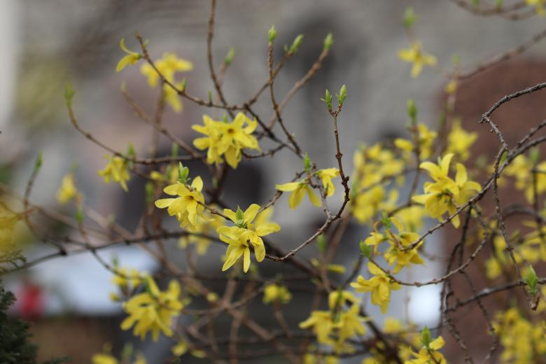 Free Stock Photo of Yellow spring flowers on a shrub Created by GAIMARD Jacques
