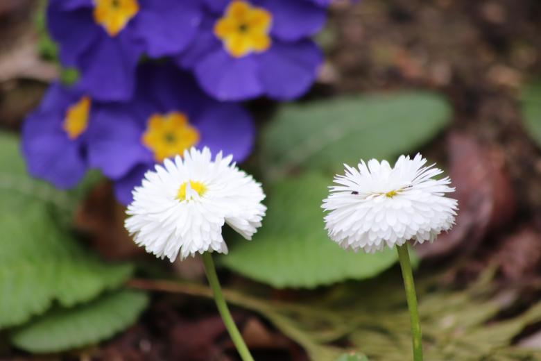 Free Stock Photo of First daisies of the season Created by GAIMARD Jacques