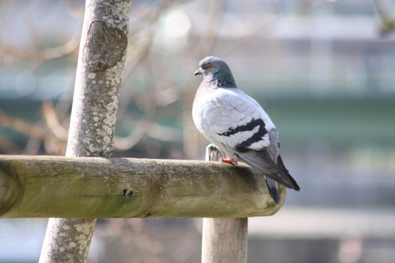 Free Stock Photo of Pigeon sunbathing Created by GAIMARD Jacques