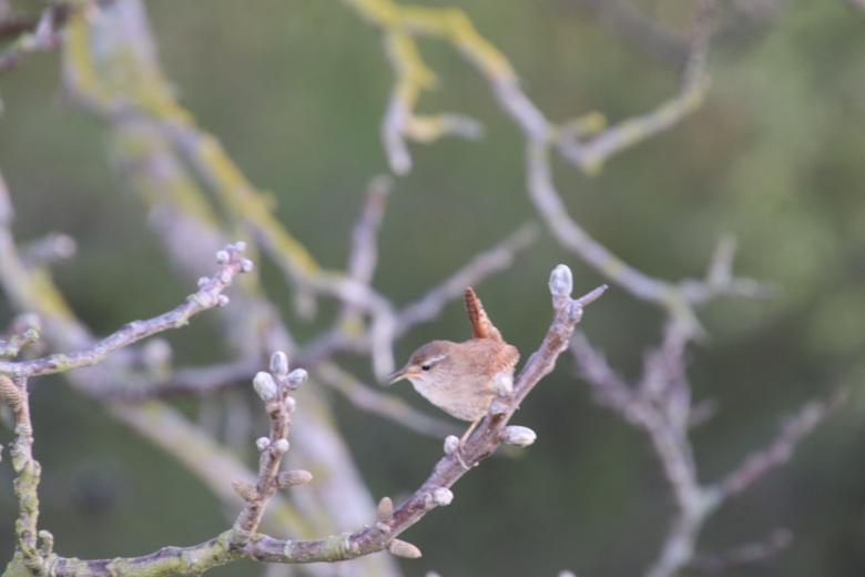 Free Stock Photo of Wren on its branch Created by GAIMARD Jacques