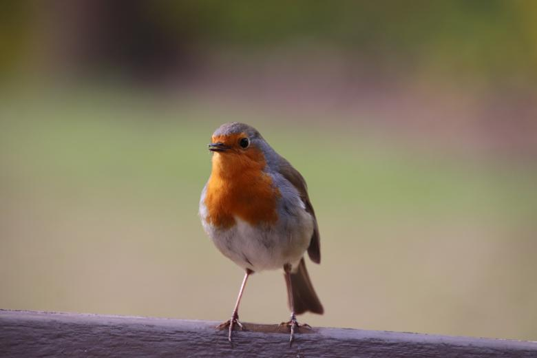 Free stock image of Hi!! Beautiful robin created by GAIMARD Jacques