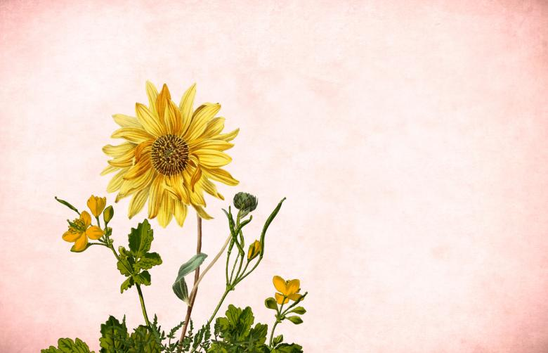 Free Stock Photo of Sunflower on Paper Background Created by mohamed hassan