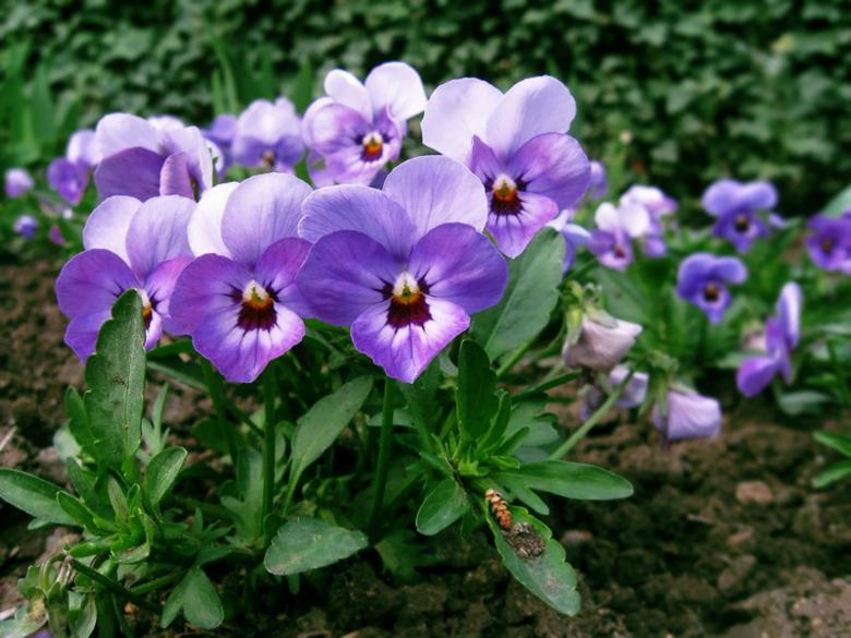 Free Stock Photo of Violets Created by nana tchelidze