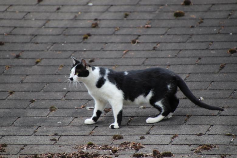 Free Stock Photo of Black and white cat hunting on a roof Created by GAIMARD Jacques