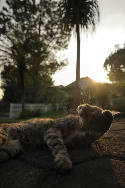 Free Stock Photo of Cat posing at sunset Created by Yosafat