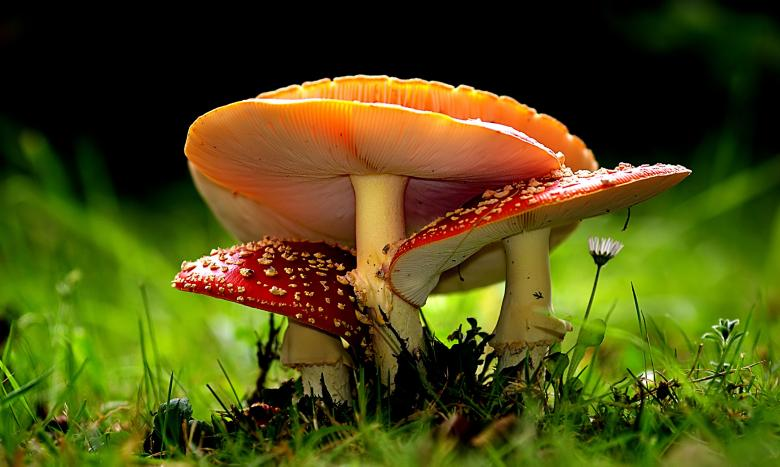 Free Stock Photo of Amanita Muscaria - Red Mushrooms Created by adam