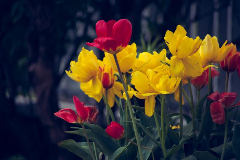 Free Stock Photo of Red and Yellow Tulips Created by Bjorgvin