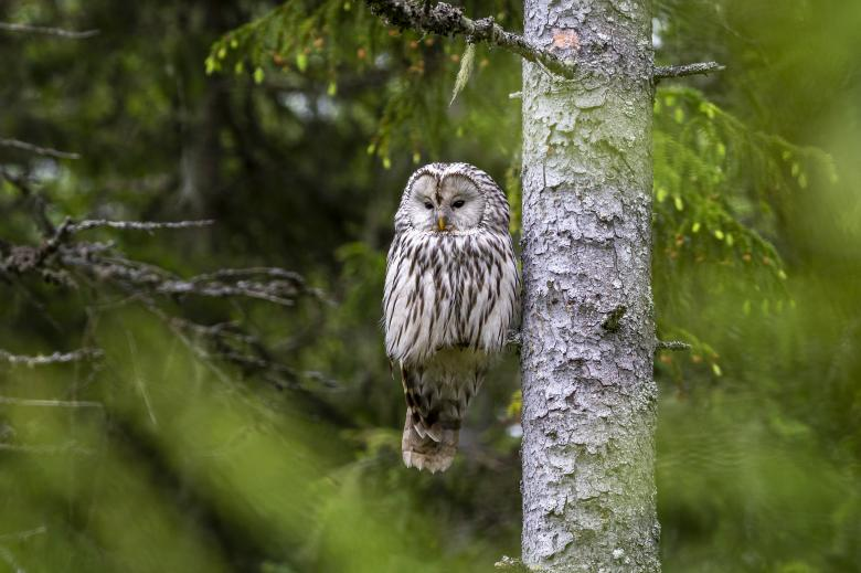 Free Stock Photo of Ural owl Created by Erik Karits