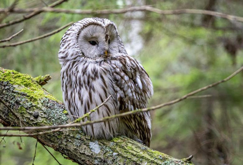 Free Stock Photo of Ural owl on branch Created by Erik Karits
