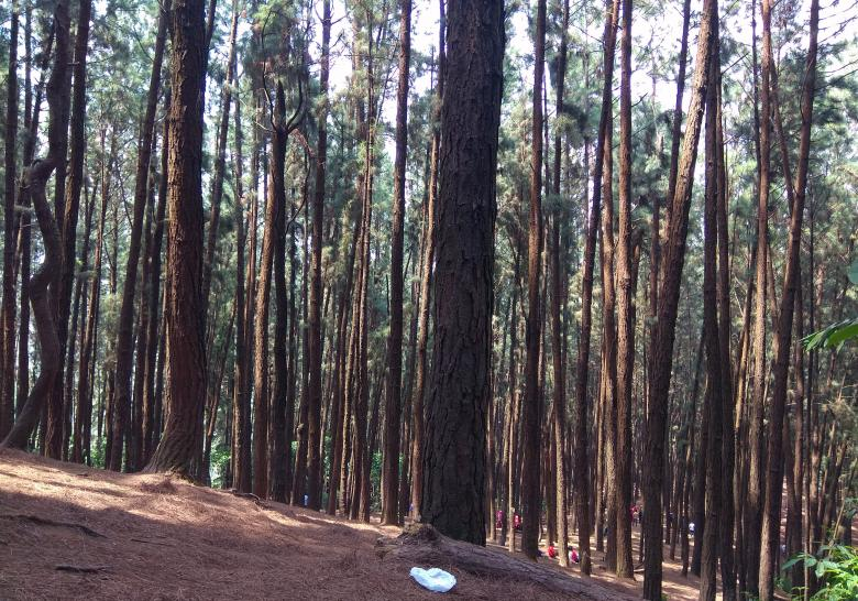 Free Stock Photo of Inside Pine Forest Created by Tona sam