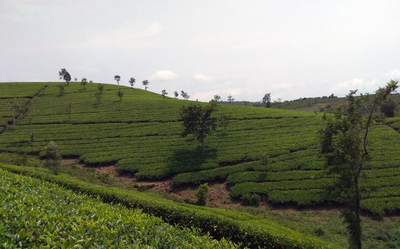 Free stock image of Tea Planation at Vagamon, India created by Tona sam